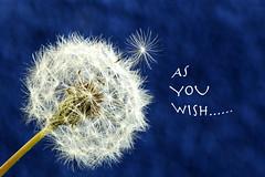 Dandelion (nojo1820) Tags: flower macro spring weed seed upclose makeawish flyaway