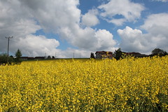 Rapeseed Field (Been Around) Tags: field yellow austria sterreich europa europe eu gelb raps obersterreich europeanunion autriche aut rapeseed 2014 kirchdorf upperaustria a nussbach concordians nusbach bezirkkirchdorf expressyourselfaward