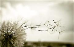 Abuelo (Francisco Esteve Herrero) Tags: blancoynegro milano viento abuelo 2014 semillas dientedeleón semilla franciscoesteveherrero semillasalviento