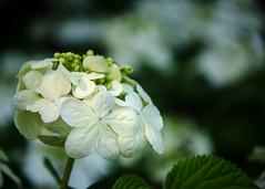 Hobblebush (hickamorehackamore) Tags: flowers white spring backyard nikon native connecticut wildlife blossoms may ct habitat viburnum certified nwf 2014 hobblebush haddam viburnumlantanoides