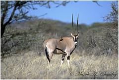 The Long horned Antelope! (MAC's Wild Pixels) Tags: game eos kenya iii ngc reserve antelope samburu mk beisaoryx eastafricanoryx macswildpixels
