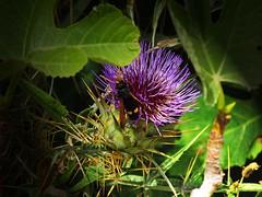 bee on a flower (netman007 (Andre` Cutajar)) Tags: flowers sky sun nature chapel malta andre quotes gozo mediterrean cutajar commino