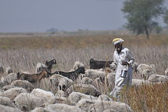 The Shepherd (The Spirit of the World ( On and Off)) Tags: india field sheep farming goats local sheperd flockofsheep ruralindia herdofgoats shepherdinindia rememberthatmomentlevel4 rememberthatmomentlevel1 rememberthatmomentlevel2 rememberthatmomentlevel3