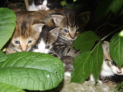 under the hedge (rospix) Tags: uk cats macro nature animal june wales cat eyes kitten kittens 2014 rospix