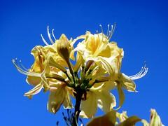 Rododendro (Luigi Strano) Tags: flowers flores fleurs flor blumen rhododendron fiori rododendro simplybeautiful