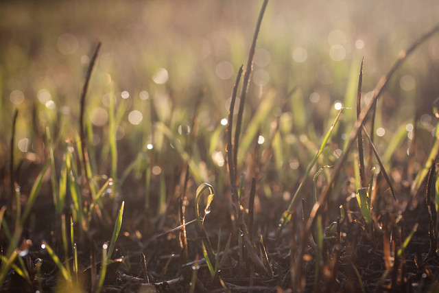 morning sunlight nature grass nebraska bokeh dew backlit prairie goldenhour newgrowth springcreekprairie jennifernish afteraprairieburn