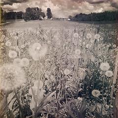 Dandelion Fields (Jason Lupi) Tags: sky usa holiday newyork field rural forest woods walk farm stich iphone outbuildings buskirk hoosick hipstamtic