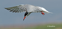 Common Tern (kevalino) Tags: bird birds liverpool wildlife common tern merseyside