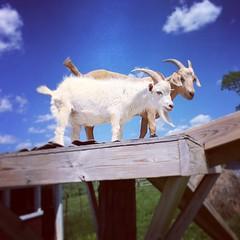 苺狩りにいったらヤギ発見。因みに私はヤギのミルクで育ちました(笑)祖父が飼ってたので。