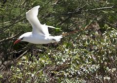 Red-tailed tropic bird - Kauai, Hawaii (JimBoots) Tags: