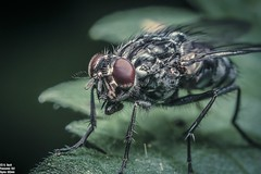 The fly (just_me78) Tags: macro nature animals closeup insect tiere fly natur makro insekt fliege gx7