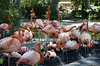 Zoo de Barcelona (13).- (ancama_99(toni)) Tags: barcelona vacation españa birds fauna zoo spain nikon flamingos aves pájaros ave vacaciones barcellona barcelone flamencos 1000views 18105 2014 catalogne 10favs 10faves 25favs 25faves ltytr1 d7000