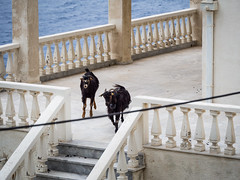 Goats in a house (jeff_006) Tags: sea portrait house seascape water animal stairs island greek mediterranean goat olympus panasonic greece f28 omd holyday kalymnos em5 35100mm