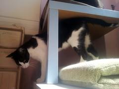 Jovi 10 (Asociacin Defensa Felina de Sevilla) Tags: espaa sevilla gatos felinos animales gatitos adoptar protectora adopciones apadrinar gatosurbanos defensafelina asociacindeanimales coloniasdegatos proteccindegatos activismoporlosanimales