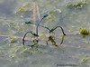 Mating Common Blue Damselflies (Crazybittern1) Tags: damselflies commonblue sigma70300mmmacro foulshawmoss nikond7000 cumbriawildlifetrust