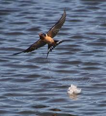 Barn Swallow (crmchees) Tags: lake burnaby