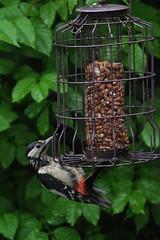 great spotted woodpecker (werewegian) Tags: bird rain woodpecker great nuts feeder spotted fatballs jun14 werewegian