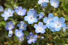 Blue Wildflowers - Baby Blue Eyes (Life_After_Death - Shannon Renshaw) Tags: life california flowers blue light baby white foothills flower color art canon botanical photography eos death spring eyes day complementary shannon tiny after wildflowers dslr botany canondslr canoneos lifeafterdeath 50d shannonday canoneos50d canon50d canon50ddslr canon50deos canoneos50ddslr canoneod50ddslr canondsler lifeafterdeathstudios lifeafterdeathphotography shannondayphotography shannondaylifeafterdeath