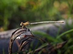 Damsel fly (ErdenizS) Tags: animal closeup fauna pen bug insect olympus flektogon damselfly ep3 odonata carlzeissjena manuallens