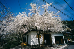 L1072011 (Four_cats) Tags: 京都 平野神社 圓山公園 leicam9 voigtlanderultron21mmf18aspherical