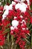 赤い実 (kimtetsu) Tags: winter snow plant japan kyoto 京都 日本 雪 冬 植物