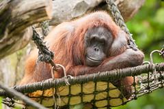 2014-06-28-10h41m16.272P7906 (A.J. Haverkamp) Tags: germany zoo orangutan muenster mnster munster dierentuin orangoetan httpwwwallwetterzoode canonef500mmf4lisiiusmlens