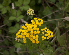 Common Tansy (DCWright-Whidbey) Tags: flowers weeds commontansy