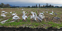 2012-11-12 Trumpeter Swans (12) Rumble in the Cornfield VI (D90 Archives) (2048x1024) (-jon) Tags: adult conway cygnet pacificnorthwest pugetsound anacortes washingtonstate laconner skagitcounty trumpeterswan salishsea firisland cygnusbuccinator d90archives