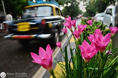 TIME TO STOP AND SMELL THE FLOWERS (© Rizwan Mithawala) Tags: road street city pink flowers india streets flower color colour rain island town nikon lily fiat fort cab taxi transport sm wm v lilies rainy monsoon smell bombay dodge maharashtra 1855mm nikkor mumbai premier padmini median bmc fragrance cst rizwan d5100 rizwanmithawala mithawala flowersbytheroadrizwan