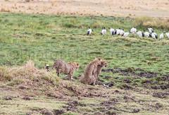 Cheetah 3some (riccardotosi) Tags: africa animal fun nikon kenya wildlife safari cheetah threesome subjects d800 luoghi maasaimara behaviour cheetas