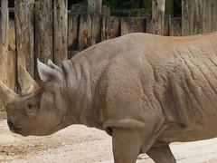 Black Rhino - HFF (sueeverettuk) Tags: animals canon fence conservation devon horn blackrhino easternafrica centralafrica hooklippedrhinoceros sueeverett canonpowershotsx50 paigntonwildlifepark