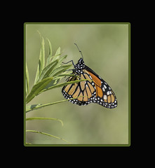 Portrait of His Royal Highness (Carolyn Lehrke) Tags: wild usa green nature wonderful weeds meadow butterflies insects wv monarch moths nikond3200 greenbriercounty ronceverte wildflowersframed