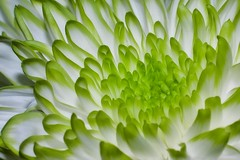 Chrysanthemum (Paul Sibley) Tags: white flower green photoaday chrysanthemum nikond60 3652014