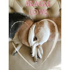 Beagle Love (Betolandia) Tags: love amor perros beagles betolandia iphone5s