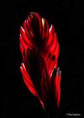 Bromelia (Max Jongkoen) Tags: bromelia flower bloem plant red