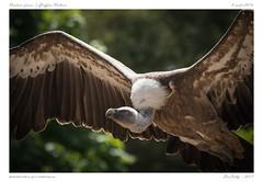 Le Pal [Allier] (BerColly) Tags: france auvergne allier parc zoo lepal oiseau bird vol flight rapace bercolly google flickr