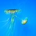 Japanese sea nettle 7 - National Aquarium