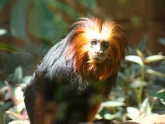 Leontopithecus chrysomelas (Sereiazinha Si) Tags: leontopithecuschrysomelas micoleãodecaradourada primatas primates mamífero mammal animal zoodesorocaba sorocaba sãopaulo brasil brazil cativeiro conservação conservation zoo fauna