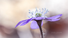 Symbol of Spring (CecilieSonstebyPhotography) Tags: anemonehepatica canon canon5dmarkiii march markiii oslo blåveis bokeh closeup flower flowers light macro petal petals purple spring stem stems white ngc npc