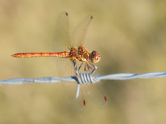 Common Darter (bredmañ) Tags: dragon dragonfly darter commondarter male insect nature wild uk british wildlife odonata macro closeup olympus em1 60mmmacro naturallight bokeh dof wire barbedwire