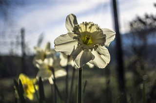 daffodil and countryside