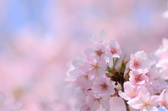 spring pastel (snowshoe hare*) Tags: cherryblossoms flowers sakura kurumazakishrine kyoto 桜 さくら 車折神社 京都 dsc0680