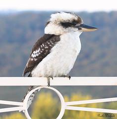 Kookaburra (Dacelo novaeguineae) (ruth winfield) Tags: kookaburra birdsofaustralia dacelonovaeguineae kingfishers alcedinidae coraciiformes laughingkookaburra