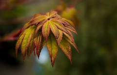 New life (Laurie4593) Tags: seattle washington canonrebelt3i japanesemaple branch leaves bokeh spring closeup youngleaf acerpalmatum newleaves depthoffield emergingleaves