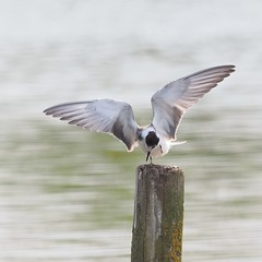 Black Tern (mainly birds by paul daunter) Tags: black tern wings water