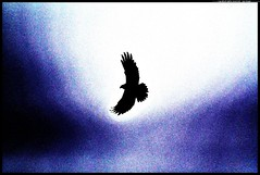 _DSK2175-23-03-2017-1 - falco di p. prova (r.zap) Tags: falcodipalude prova rzap circusaeruginosus parcodelticino