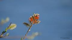 Tagpfauenauge (Aglais io) (Oerliuschi) Tags: tagpfauenauge aglaisio tagfalter edelfalter schmetterling butterfly weidenkätzchen nahaufnahme panasonicgh5 lumixgh5 natur