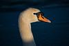 lonely swan (sandor.csincsik) Tags: swan hattyú balaton plattensee explore spring animal hungary magyarország sunset dock ice icebound wild canon eos 80d 55250 természet nature eye eyes lake beautiful
