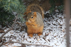 Squirrels in Ann Arbor at the University of Michigan (February 28th through March 3rd, 2017) (cseeman) Tags: gobluesquirrels squirrels annarbor michigan animal campus universityofmichigan umsquirrels03032017 winter eating peanut marchumsquirrel umsquirrel foxsquirrels easternfoxsquirrels michiganfoxsquirrels universityofmichiganfoxsquirrels