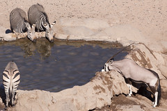 Hustle and bustle at the waterhole (dieLeuchtturms) Tags: 3x2 africa afrika antilopen antilopinae artiodactyla bergzebra bovidae equidae equuszebra equuszebrahartmannae gemsbok hartmannbergzebra hippotragini hobatereconcession hornträger kunene namibia oryx oryxantilope paarhufer pecora perissodactyla pferde pferdeböcke ruminantia spiesbock stirnwaffenträger säugetiere unpaarhufer vertebrata vertebrates wiederkäuer wirbeltiere mammals mountainzebra roadsidewaterhole